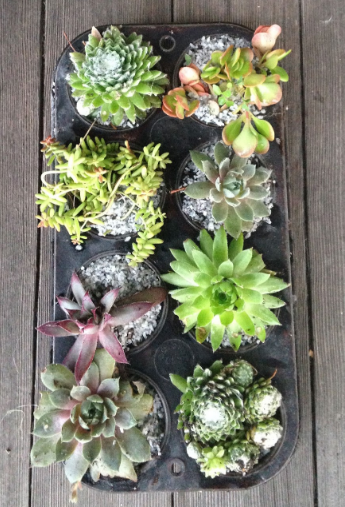 a muffin tray filled with beautiful looking succulents