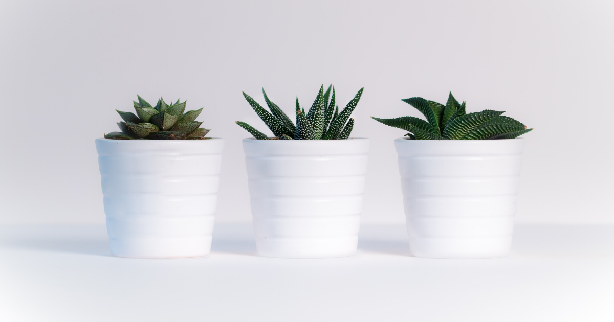 Three aloe vera plants in white containers