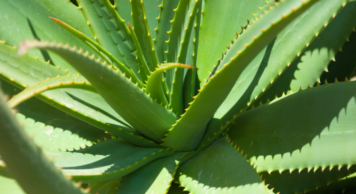 Healthy aloe vera with thick long leaves,