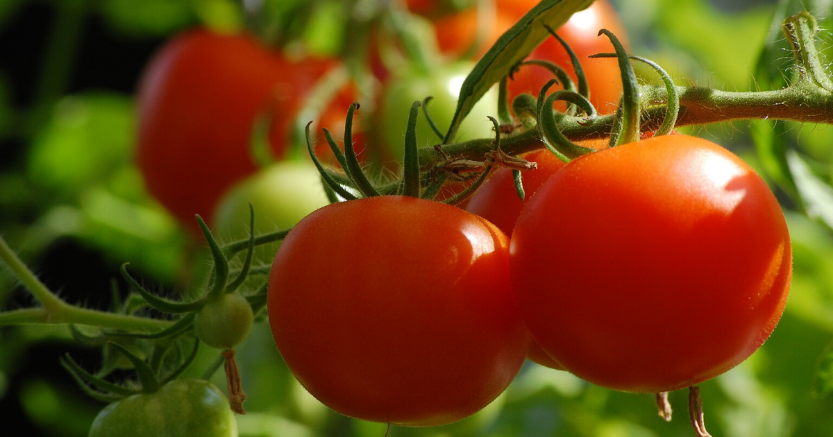 Delicious and meaty tomato produce from a container garden.