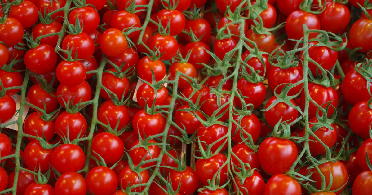Tumbling Tom is a variety of tomato to produce hundreds of fruits from just one plant.