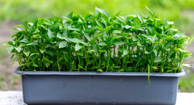 A container filled with sweet pepper seedlings.