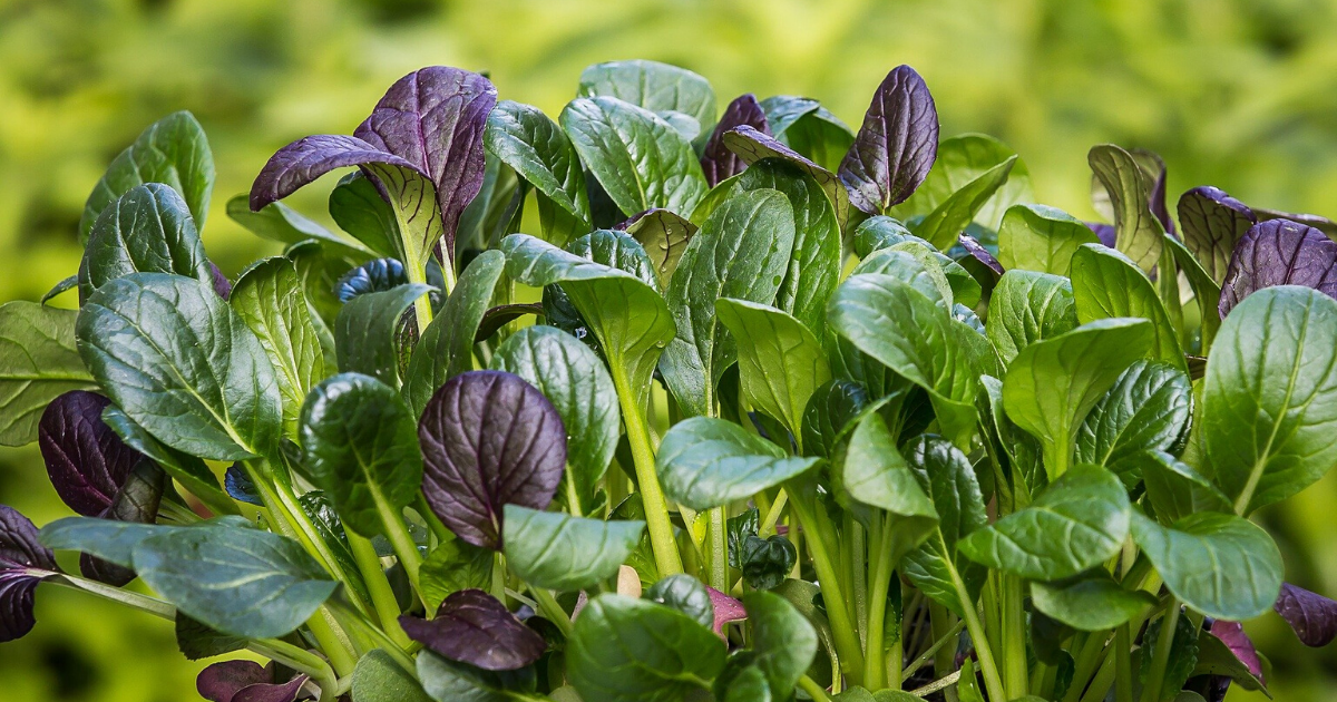 Japanese spinach raised in containers.