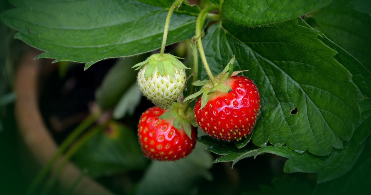 Ready to harvest strawberries in fall garden.