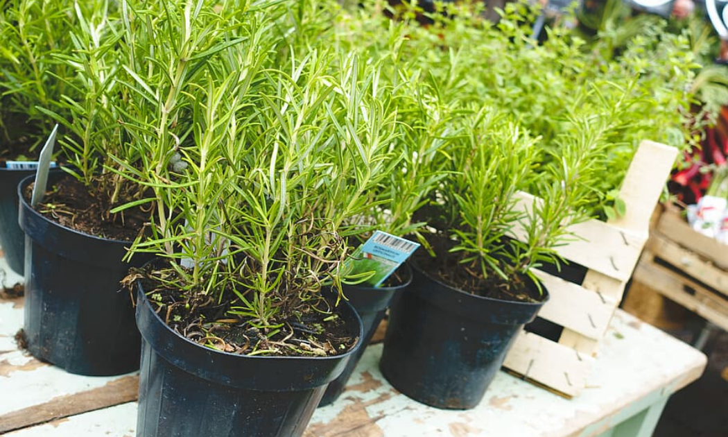 Rosemary plants grown in black container pots.