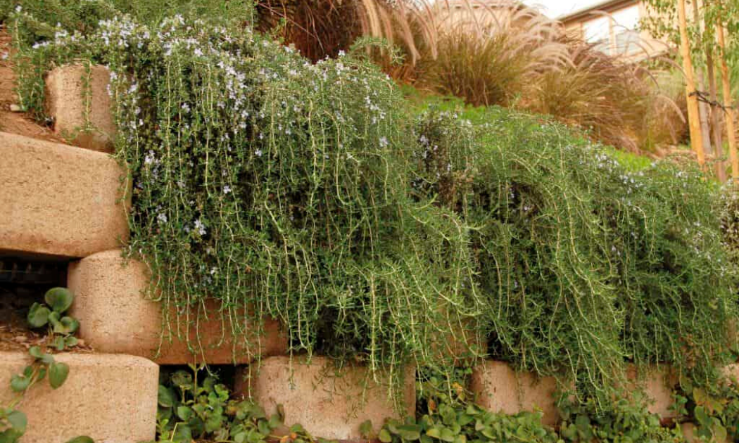 The trailing rosemary cascading down a raised bed.