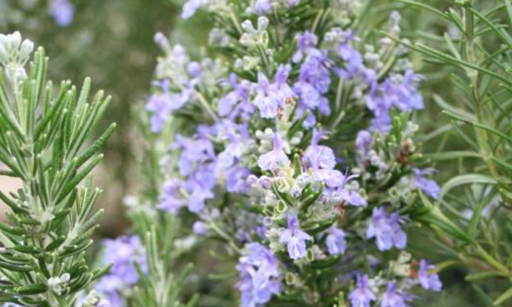 Roman beauty rosemary with its beautiful lavender-blue flowers.