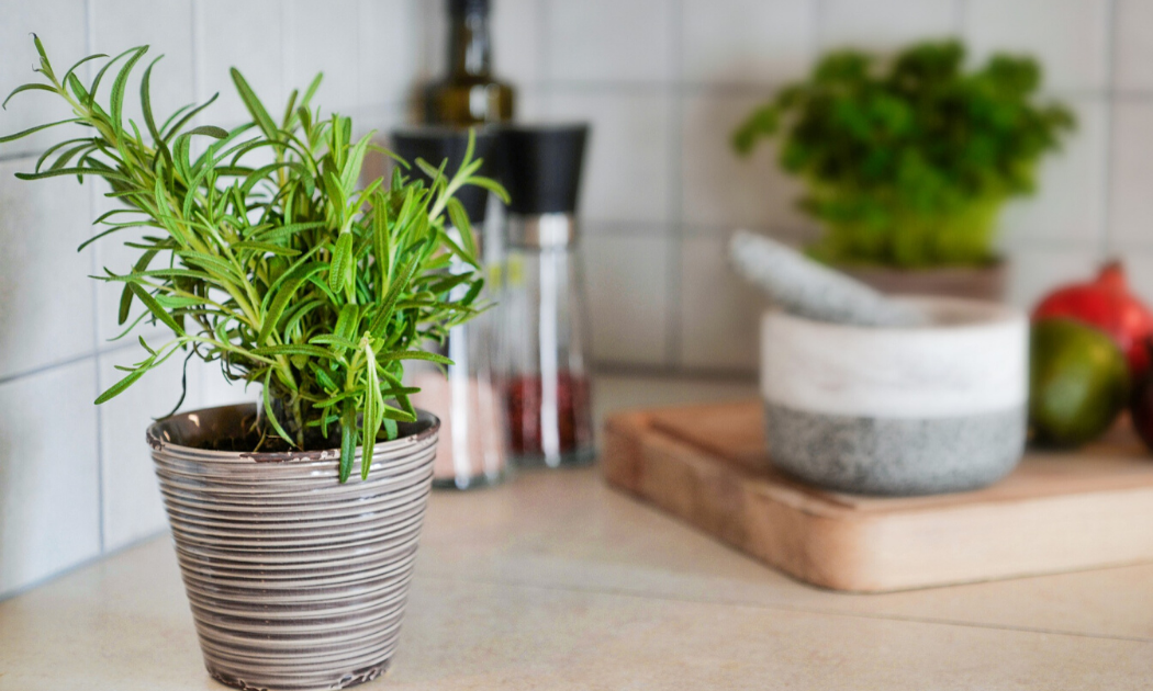 A rosemary plant in ceramic container pot.