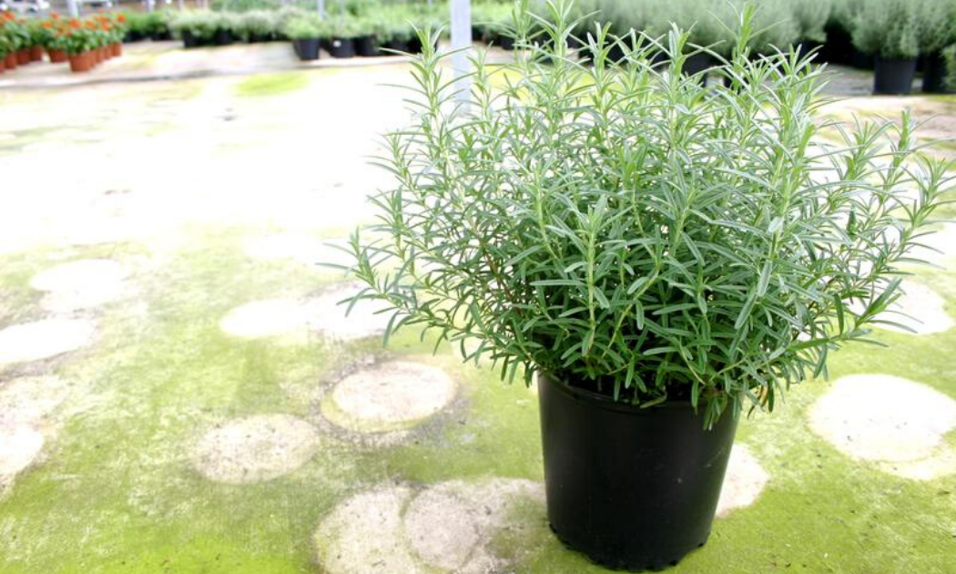 Gorizia rosemary in a container used to repel moth and flies.