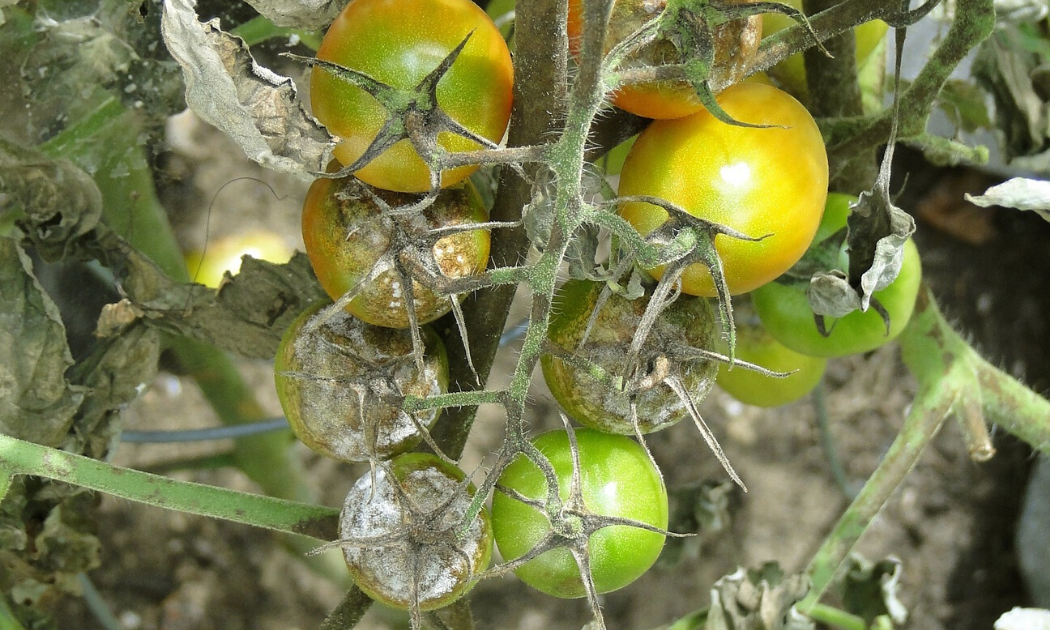 Fungal diseases on tomatoes.