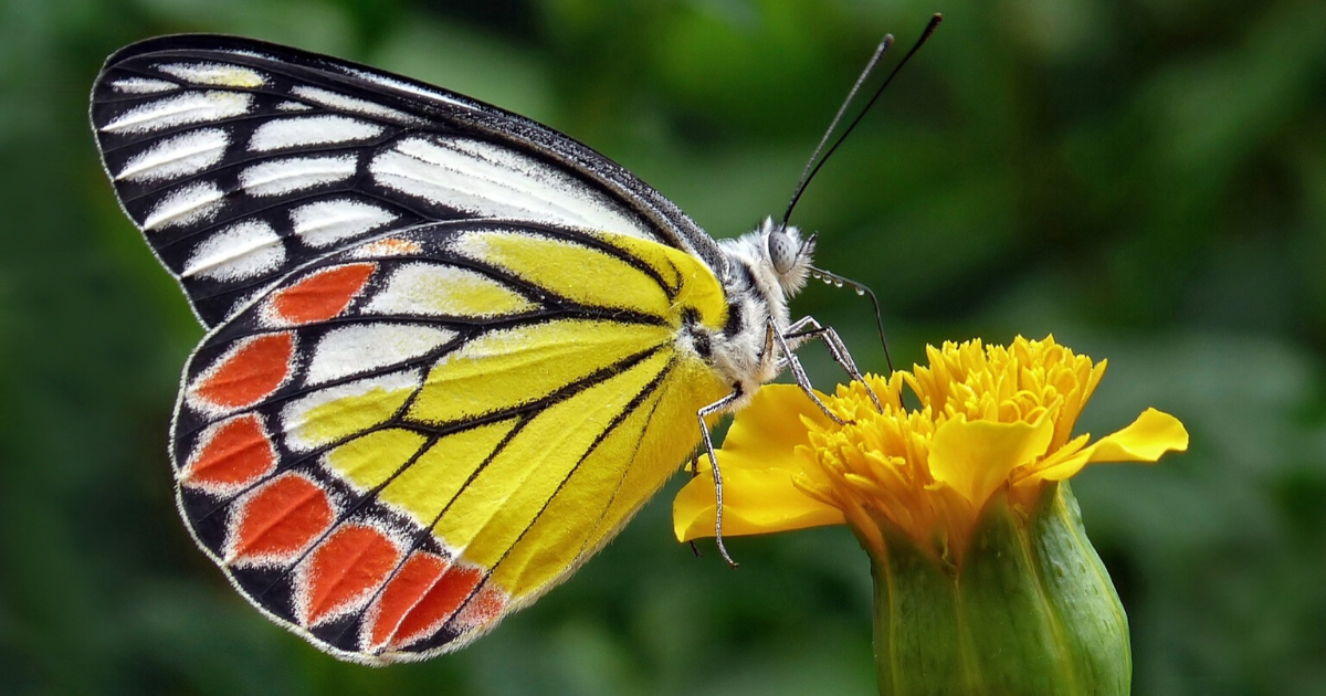Butterfly acting as a pollinator in a vegetable garden.