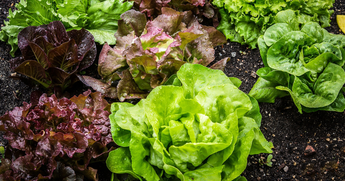Green and purple lettuce in a garden bed.