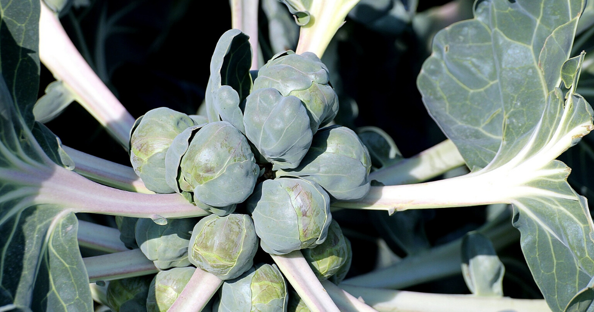 Healthy Brussels Sprouts ready to harvest.