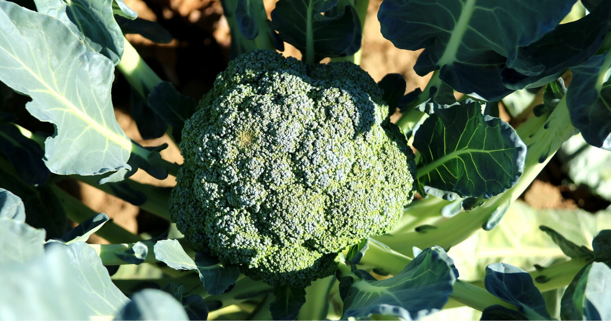 Broccoli in its giant head.
