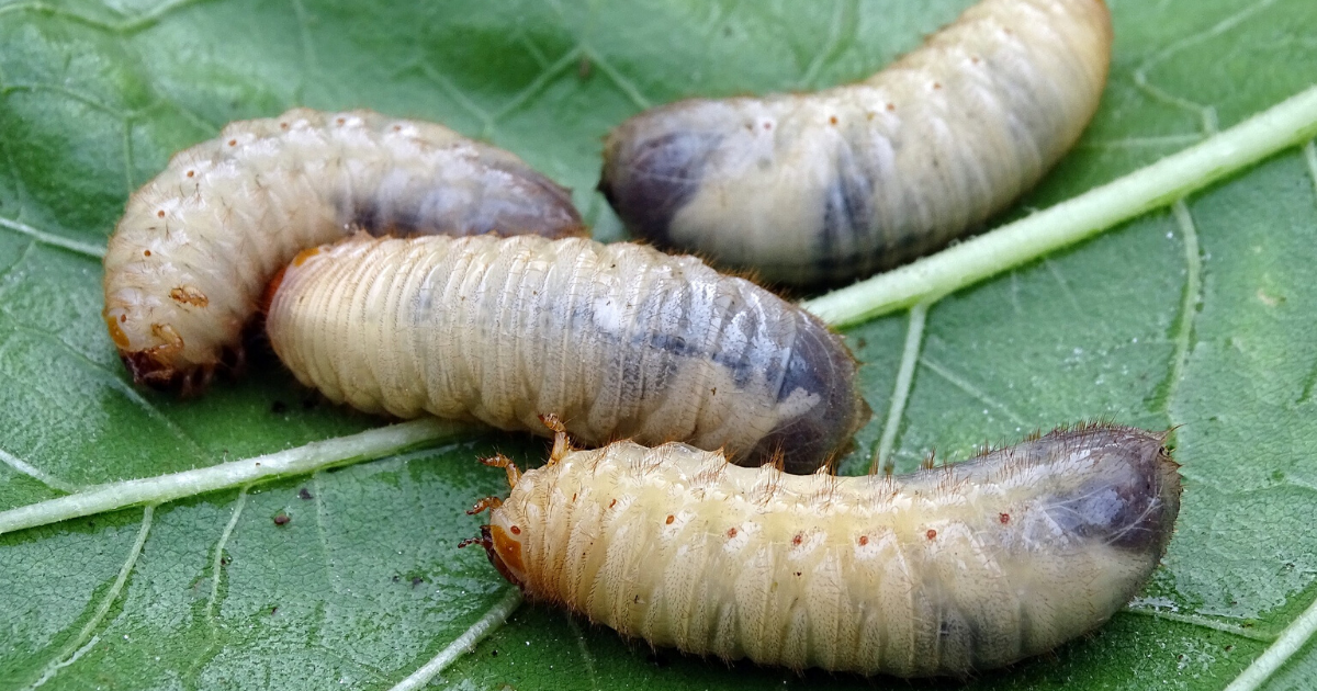 Collected larvae from the garden.