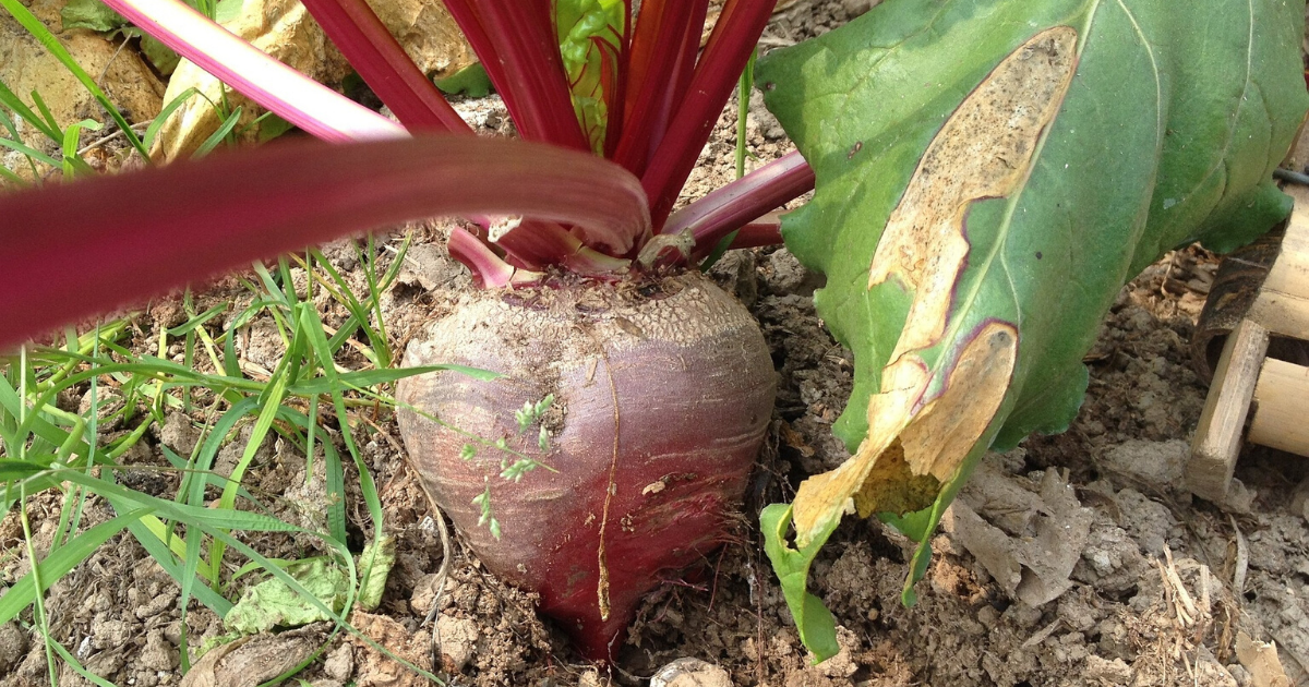 Beets is one of the best plants to grow in containers.