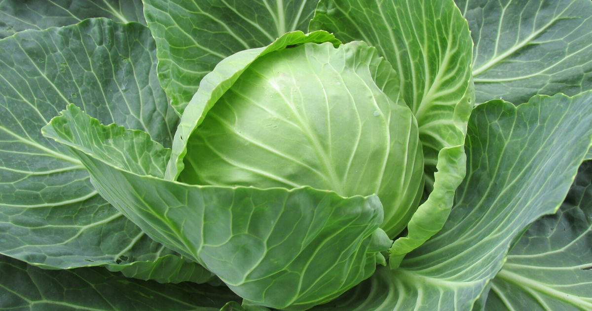 Cabbage from the fall garden.