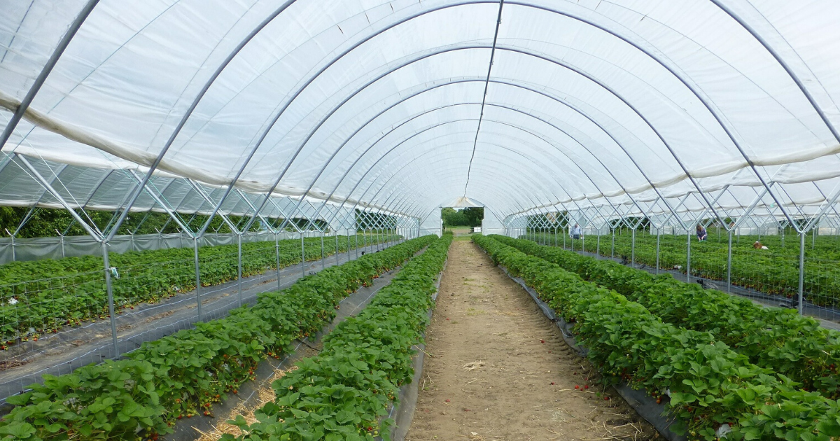Greenhouse of vegetable plants