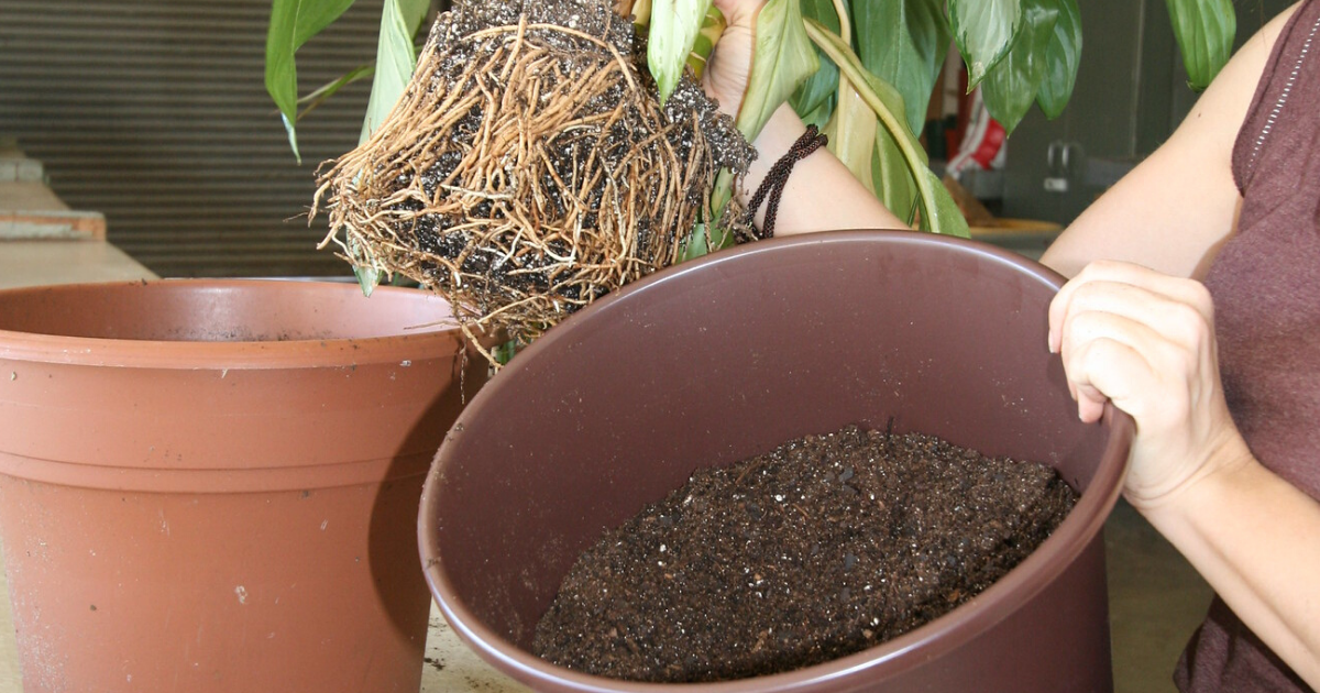 A woman repots the plant with fresh potting mix.