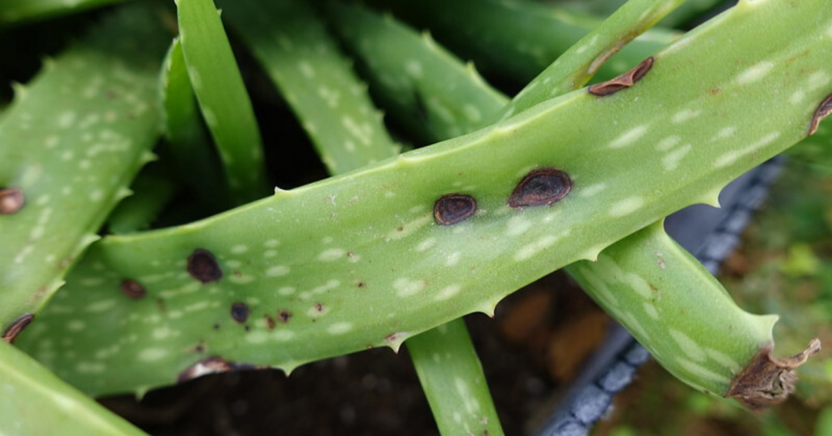 Excessive watering causes aloe vera leaves to shrink and die.
