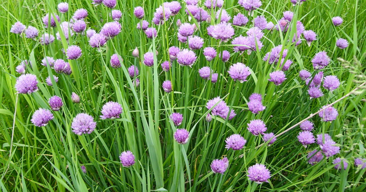 Chives with its spiky -purplish pink flowers.