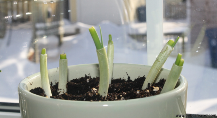 Grow green onions from cuttings