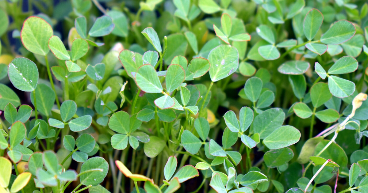 Fenugreek in a container.