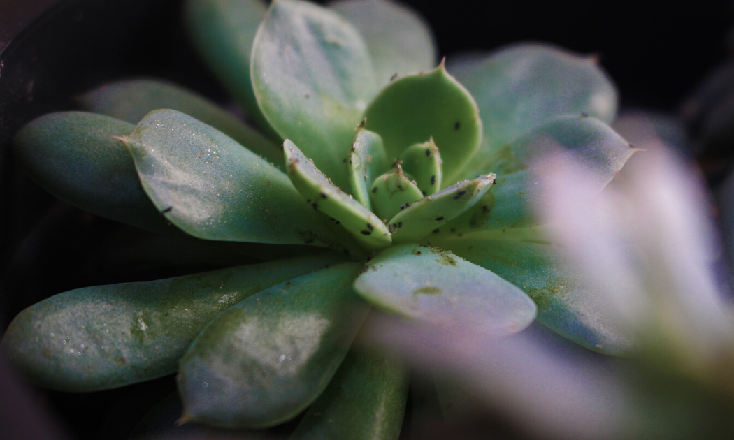 Succulent attacked by bugs.