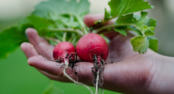 a couple of radishes that have been freshly picked