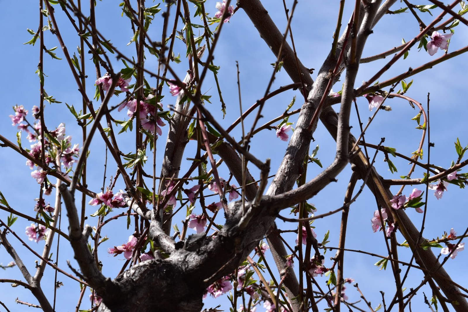 Crowding branches of an apple tree.