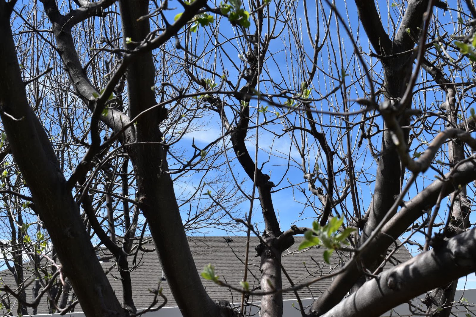 The peach tree after pruning allows sunlight to get through into the inner part of the tree.