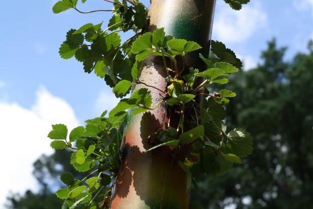 Growing strawberries vertically using PVC pipe.