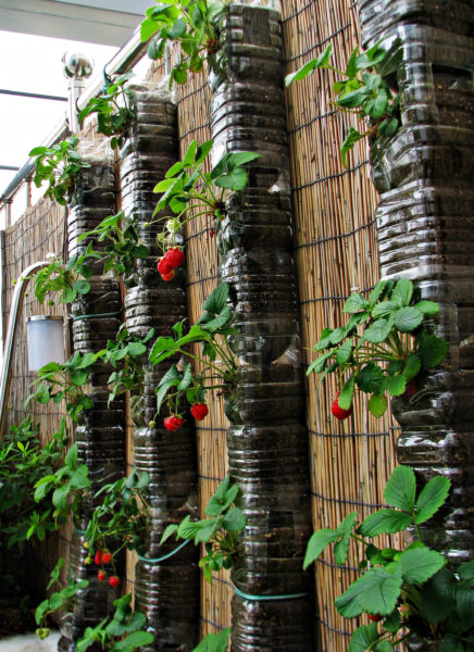 10- liters of plastic bottles used as a strawberry tower garden.