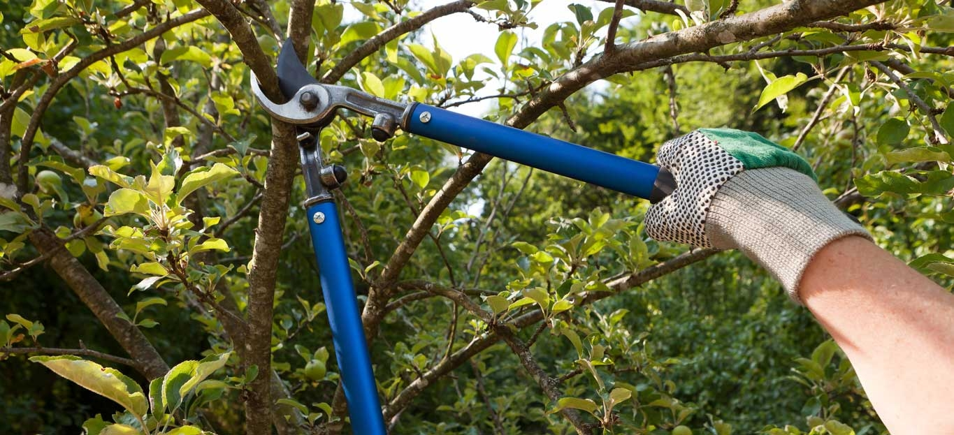 Pruning an apple tree to allow light and air supply into the inner part of the tree.