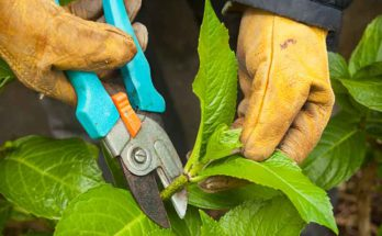 Propagator cutting the upper part of the branch using pruning shears for plant propagation.