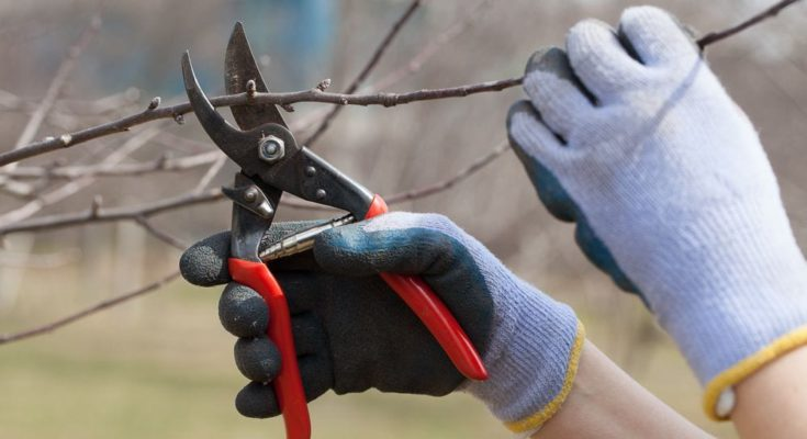 Pruning branch of an apple tree using hand shears.