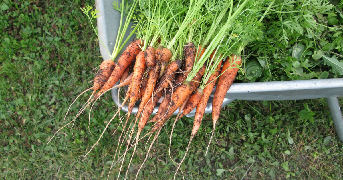 Newly harvested carrots place in a wheelbarrow.