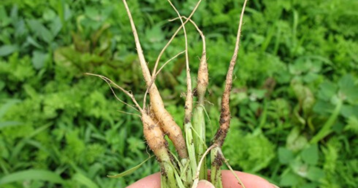 Five pieces of newly thinned carrot plants.