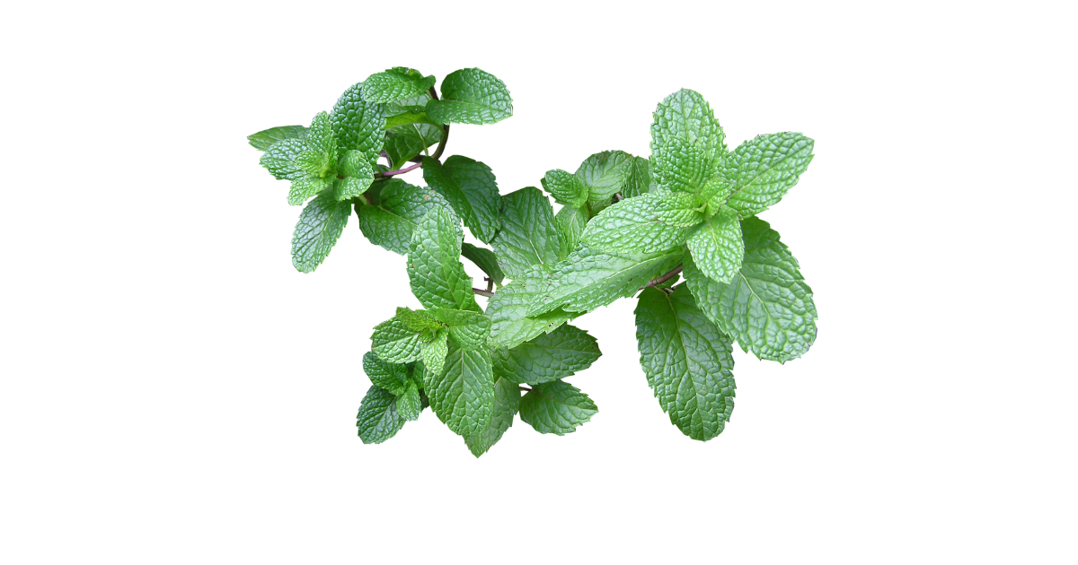 a green mint plant in front of a white background