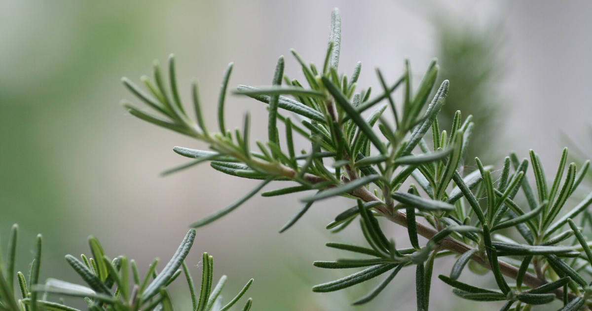 A branch of rosemary full of leaves.