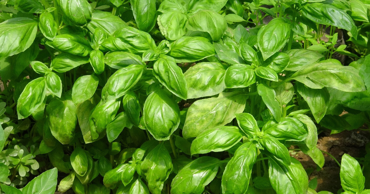 a green basil plant repelling flies.
