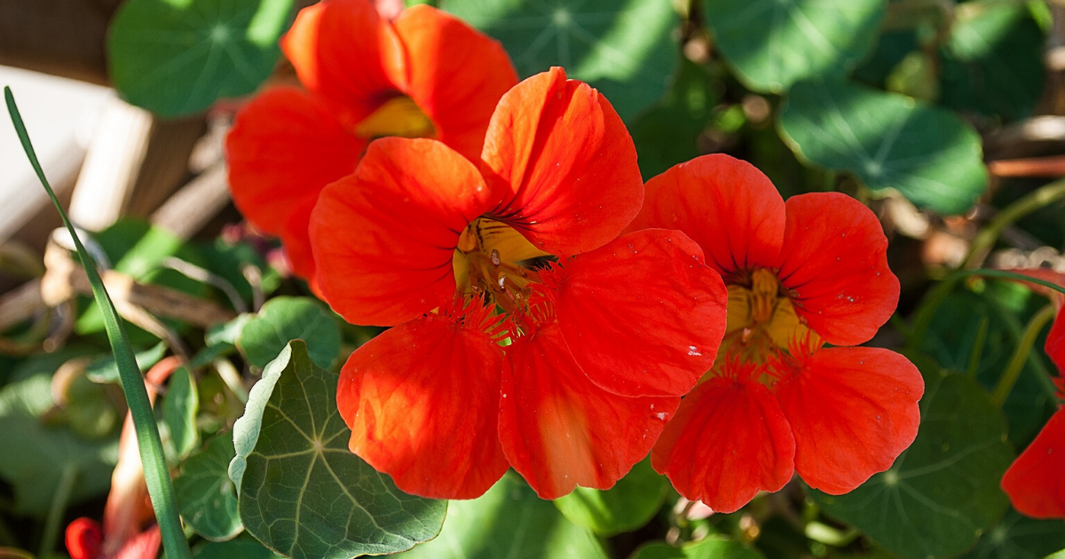 Nasturtium with red-orange flowers.