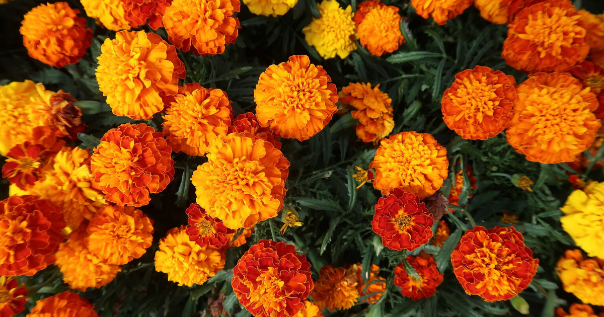 Marigolds with red-orange flowers.