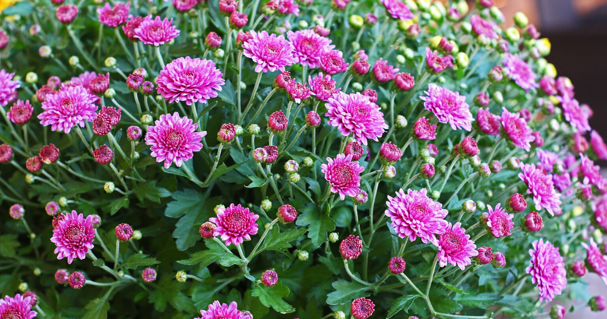 Chrysanthemum in a flower bed with pink flowers.