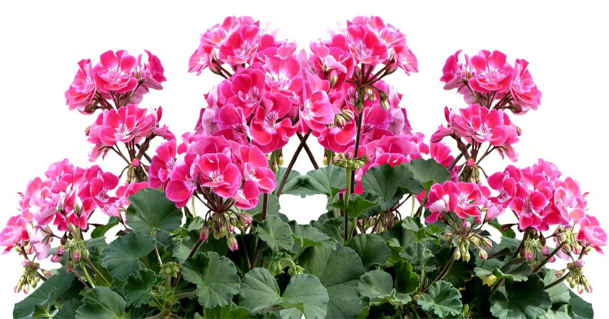 Geranium in a pot with flowers in pink.