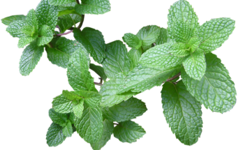 A green mint plant with a white background