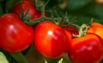 Six ripe sweet tomatoes ready to harvest.