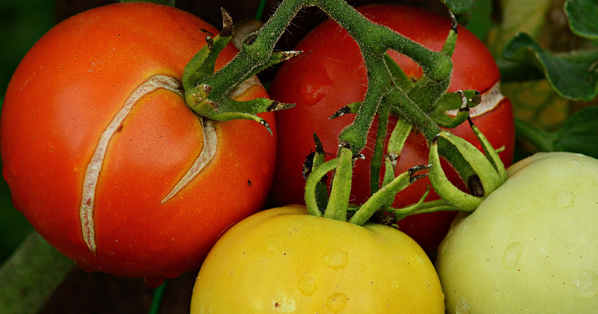 Cracked ripe tomatoes due to lack of water.