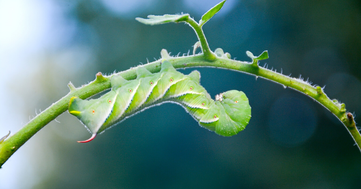 A green worm eating the leaves of a tomato plant.