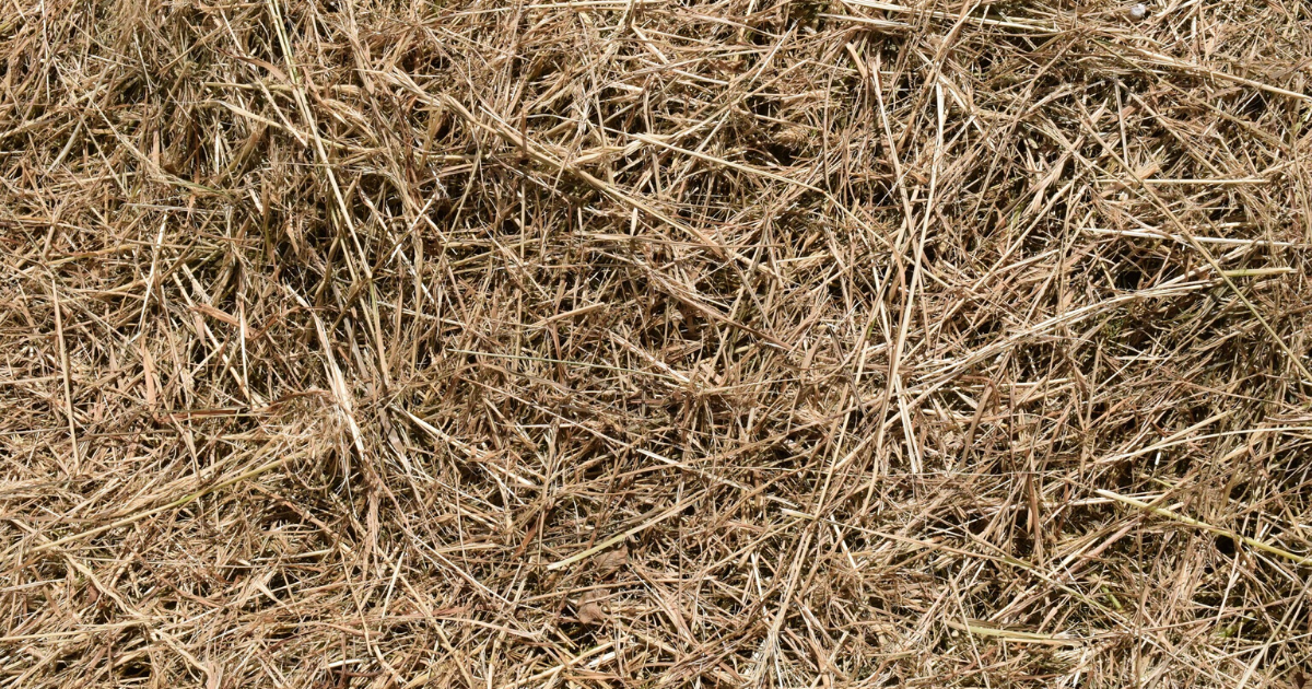 Hay used as mulch in the tomato garden.